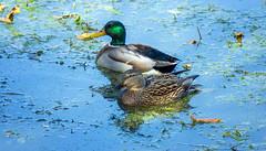 drake and hen (Black Hound) Tags: sony a500 minolta johnheinznationalwildliferefuge mallard ducks