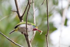 Cuban Tody!! (Laura Erickson) Tags: cuba cubantody birds coraciiformes species places todidae barrancolicubano barrancorrio cartacuba todusmulticolor