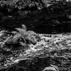 Fern in the river (cdnfish) Tags: vancouverisland victoriabc victoria westcoast westshore goldstream goldstreampark malahat bc britishcolumbia canada blackandwhite black white bw sony sonya7m2 a7m2 river ripple fern rapid water explore explored exploring