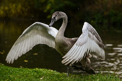 Flapping out of the river! (PChamaeleoMH) Tags: anatidae birds cygnets fauna flapping oxford swans universityparks