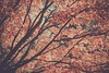 Canopy (scottwills) Tags: scott wills scottwills canopy tree trees autumn fall rustic branches landscape nature color warm warmth
