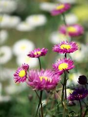 Sixteenth Spring xvi (Yahweh's Creation) Tags: everlasting flower flora nature natur blur bokeh white pink spring garden daisy depthoffield green grass bed