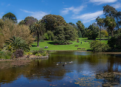 Lake time (Scottmh) Tags: 2016 australia botanical nikon victoria d7100 flora flower gardens lake melbourne spring swans cygnets hill trees