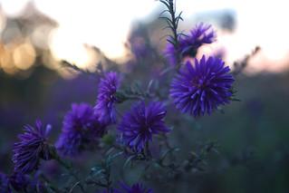 Flowers in the last daylight