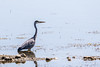 Héron cendré (Ardea cinerea) (yann.dimauro) Tags: miribel ain animaux faune jonage lac oiseau ornithologie rhone yanndimauro étang
