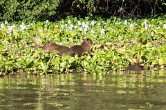 _1060435.jpg (riandar) Tags: brazil pantanal southwild capybara wildlife mammals safari nature