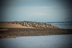 seals (pamelaadam) Tags: aberdeenshire scotland sea animal seal visions june summer 2016 digital fotolog thebiggestgroup newburgh