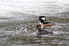 Hooded mergansers (jlcummins - Washington State) Tags: hoodedmerganser duck wallawallacounty washingtonstate rookspark millcreek waterfowl bird coth specanimal alittlebeauty