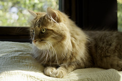Clem Thursday: Like This? (Photo Amy) Tags: adorable aminal canon50d cat cuddly cute cuteness ef50mm18 eartufts feline fluffy fur furry ginger kitten longhair longhaired orange pet precious red tabby toefur whisker whiskers