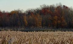 Tidal marsh at Marquis Creek (Dendroica cerulea) Tags: wetlands creek tidalmarsh saltmarsh foliage autumn marquiscreek raritanbay oldbridgewaterfrontpark laurenceharbor oldbridge middlesexcounty nj newjersey