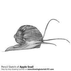 Apple Snail with Pencils (drawingtutorials101.com) Tags: apple snails ampullariidae freshwater gastropoda sketching pencil sketch sketches drawing draw speeddrawing timelapse timelapsevideo how