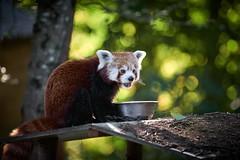 j'ai trop bouffé (rondoudou87) Tags: redpanda pandaroux parc reynou zoo natur nature pentax k1 fun drole bokeh dof wow
