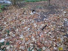 Chameleon (lunat1k) Tags: chameleon dog leafs autumn street sofia bulgaria nexus5x