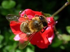 Apis mellifera (bego vega) Tags: hymenoptera himenoptero apoidea apidae apis mellifera abeja bee honeybee miel macro madrid vf bego vega bv salvia