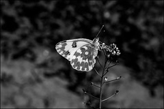 2_DSC7105 (dmitry_ryzhkov) Tags: black blackandwhite bw monochrome white bnw blacknwhite blackwhite lepidoptera butterfly sony alpha art europe geotagged light ights shadow shadows live photo photography photos wild wildlife life moment moments nature naturephoto naturephotography natureshot shot close closeup macroimage macroshots entomology entomologist biologist biology zoology botany fauna flora enviropment bug bugs animal animals animalphotography animalphoto animalshot animalshots animalimage insect insects inhabitant inhabitants little small micro macro macrophoto macrophotos macrophotography macroshot ukraine poltava