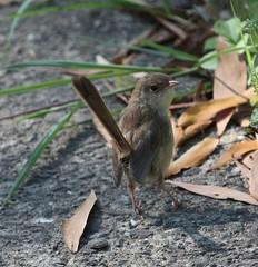 Red-backed Fairy-Wren (Malurus melanocephalus) - female (iainrmacaulay) Tags: birs australia redbacked fairywren female malurus melanocephalus