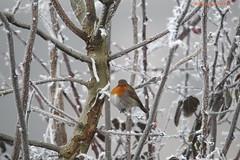 GRAVIERE AUX OISEAUX En ce dernier matin de décembre, le rouge gorge cherche sa nourriture dans le froid (BPBP42) Tags: oiseaux bird vogel froid fog givre arbre nature robin