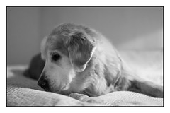 48/52 Nick Searching For Cookies On a Boring Day (Eline Lyng) Tags: indoor pet dog canine golden retriever goldenretriever animal bw blackandwhite monochrome portrait leica leicasl sl summilux50mmasphf2 summilux 50mm 52weeksfordogs