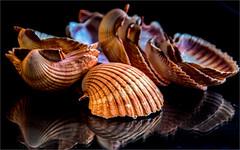 Group of shells (ronnymariano) Tags: hillburn newyork unitedstates us seashell closeup extensiontubes nature shadow light 2016 macro shell detail