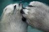 Polar bear Lale holding a grape (K.Verhulst) Tags: polarbears polarbear ijsberen ijsbeer bears beren bear emmen wildlandsadventurezoo wildlands lale
