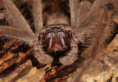 IMG_0796 (Roving_photographer) Tags: giant grey huntsman holconia immanis house spider sparassidae macquarie park sydney australia