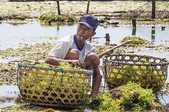 Fishermen of seaweeds   Pêcheurs d'algues Bali (geolis06) Tags: geolis06 bali 2015 asie asia indonésie indonésia nusalembongan olympusem5 olympus olympusm1240mmf28 mer sea balibeach nusalembonganbeach plagebali jungutbatu jungutbatubeach jungutbatuplagefishermenofseaweeds pêcheursdalgues