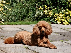 Milo (Donna JW) Tags: dog garden poodle miniaturepoodle redpoodle picmonkey