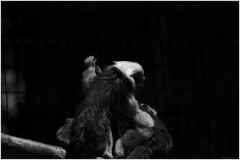 Tamarins At Play (bryelynch) Tags: wild animals zoo monkey nikon wildlife telephoto lowkey tamarins primemate d7000