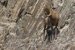 Bighorn Sheep, Banff, Canada (danny.mccreadie2) Tags: canada banff bighornsheep