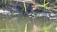 MVI_4004 Soras (John Pohl2011) Tags: canon john waterfowl 100400mm wading pohl t4i 100400mmlens canont4i