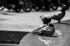 need cold (MrtBzts) Tags: barcelona blackandwhite reflection monochrome pigeon