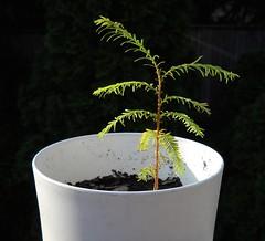 Baby Redwood Tree Growth Progress (Crickett-Grrrl) Tags: baby tree progress growth pottedplant redwood seedling dawnredwood