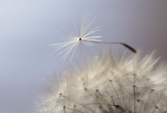 Hold Me Up (Captured Heart) Tags: still peace softness peaceful dandelion wishes held delicate stillness dandelionseeds