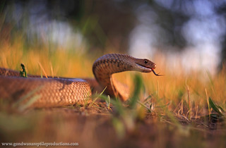 Eastern Brown Snake ready to strike.