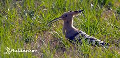 Hoopoe  (haidarism (Ahmed Alhaidari)) Tags: green bird tourism nature grass animal outdoor tourist medina saudiarabia hoopoe madinah      sonya65