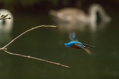 Kingfisher in flight (warren hanratty) Tags: bird nature wildlife gloucestershire kingfisher cotswoldwaterpark alcedoatthis lowermoorfarm