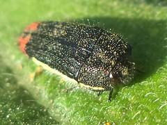 DSC01034 (alfredoeloisa) Tags: animalia arthropoda coleoptera insecta buprestidae acmaeodera buprestoidea