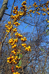 Finding Fall Colors (+David+) Tags: yellow berries fallcolors local