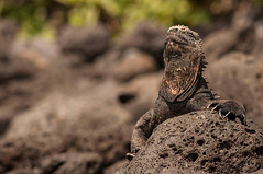 Iguana Marina (Taniali) Tags: travel blue sea wild summer naturaleza sun green bird beach water animal animals rock marina mar ecuador sand rocks reptile wildlife playa lizard galapagos vida iguana silvestre province rocas bobbies reptil galápagos footed 500px ifttt