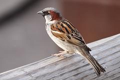 Sparrow (Ailuropoda polychroma) Tags: male bird nature animal sparrow fujifilm fujinon xt1 xf55200mmf3548rlmois