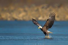 Here comes Stubbs (Khurram Khan...) Tags: nature ilovenature nikon eagle birding raptor raptors birdsofprey americanbaldeagle ilovewildlife khurramk khurramkhan
