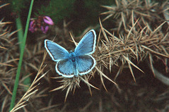 1986_63_24_edited-1 (Clive Webber) Tags: ashdownforest lycaenidae plebejusargus silverstuddedblue