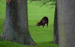 Grazing (Wildlife Online) Tags: animal mammal wildlife bedfordshire deer whipsnadezoo muntjac cervidae barkingdeer muntjacdeer muntiacus muntiacusreevesi reevesmuntjacdeer britishdeer ukdeer marcbaldwin wildlifeonline introduceddeer invasivedeer