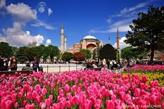 Springtime Hagia Sophia Istanbul (NATIONAL SUGRAPHIC) Tags: flowers tulips cityscapes hagiasophia sultanahmet iekler ayasofya laleler cityscapephotography sugraphic ayhanakar nationalsugraphic