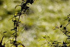 Spinnennetz (grafenhans) Tags: minolta sony af grün 55 sonne 75300 slt spinnennetz gegenlicht 4556 grafenwald slt55