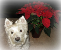 "12/12B ~ Riley - ""Home for the Holidays"" (ellenc995) Tags: christmas riley poinsettia westie westhighlandwhiteterrier ruby3 coth supershot abigfave pet500 pet100 rubyphotographer challengeclub coth5 thesunshinegroup sunrays5 12monthsfordogs15"