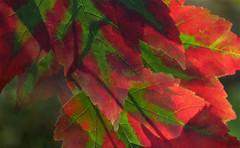 Maple leaves putting on their autumn colours in Queen Elizabeth Park, Vancouver (elizabatz.jensen) Tags: maple leaves autumn colours queenelizabeth park vancouver october backlit depthoffield trees