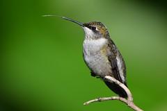 Ruby-throated Hummingbird by Jackie B. Elmore 9-28-2016 Lincoln Co. KY (jackiebelmore) Tags: archilochuscolubris rubythroatedhummingbird hummingbird lincolnco kentucky nikon7100 jackiebelmore kos