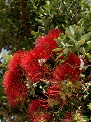 DSC_0513_2048 (a.marquespics) Tags: flor vermelho verde cor red green redflower nikon d610 florvermelha luxuria jardim