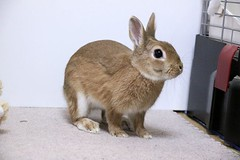 Ichigo san 427 (mensore) Tags:  rabbit bunny netherlanddwarf brown cute pet family ichigo